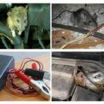 Des rats dans la voiture
