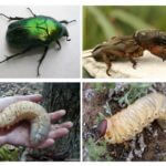 Larve du coléoptère de mai et Medvedka