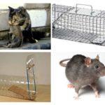 Rats de pêche