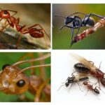 Corps de fourmi