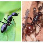 Reine des fourmis
