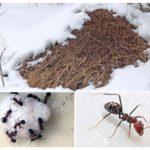 Fourmilière en hiver