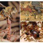 Nourriture pour les fourmis prédatrices