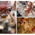 Bouledogues fourmis