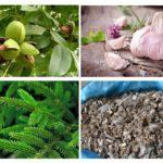 Remèdes traditionnels de Medvedka