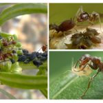 Symbiose insecte