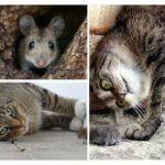 Chasse aux souris