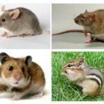 Différence d'une souris par rapport à d'autres animaux