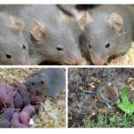 Nutrition et élevage de rongeurs