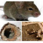 Isolation des souris qui rongent