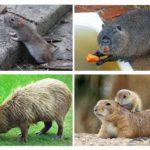 Animaux ressemblant à des rats