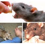 Comportement du rat