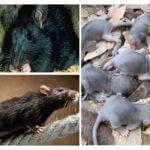 Élevage de rats