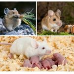 Nutrition et reproduction de souris