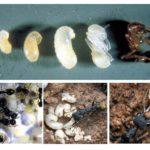 Etapes du développement des fourmis
