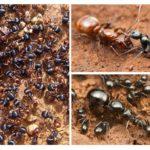 Famille de fourmis