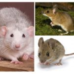 Structure de la souris