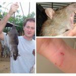 Morsures de rat