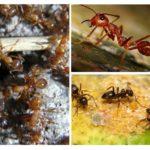 Espèces de fourmis