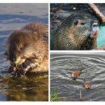 Rat d'eau