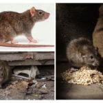 Dommage de rats