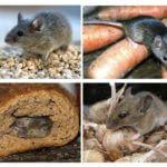Harm de souris