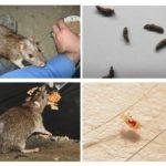 Comment les rats infectent les humains