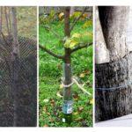 Protéger les arbres des souris