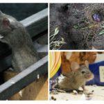 Vie de la souris