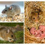 Mode de vie de la souris