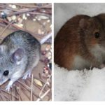 La vie de la souris
