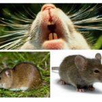 Dents de souris