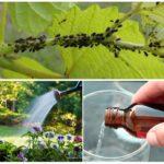 L'ammoniac dans la lutte contre les pucerons