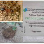 Acide borique d'insectes