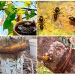 Goudron de bouleau dans le jardin des fourmis