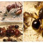 Hiérarchie de fourmilière