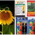 Produits chimiques toxiques provenant de pucerons sur le tournesol