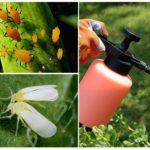 L'action du médicament contre les pucerons et les aleurodes