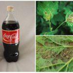 Coca-Cola dans la lutte contre les pucerons