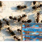 Macha des fourmis