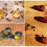Mission de fourmi de miel