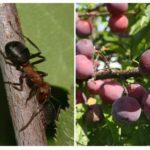 Fourmis sur prune
