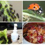 Remèdes populaires pour les pucerons