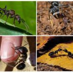 Mode de vie Paraponera clavata