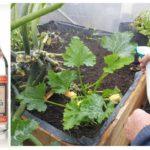 Pulvériser des plantes avec de la vodka