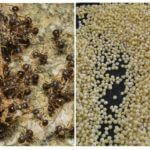 Millet de fourmis