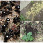 L'utilisation de mil dans le pays des insectes