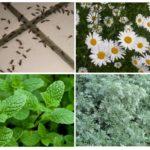 Fourmis Contrôle Des Plantes