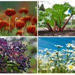 Plantes de pucerons