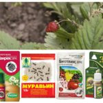 Produits de fourmi sur les fraises